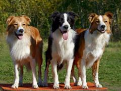 11 червня відбудеться Шоста Сертифікована виставка собак усіх порід «Кубок Сєвєродонецька-2016»