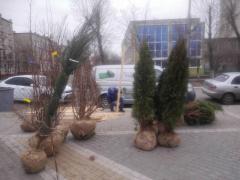 В Сквере Гоголя садили семейные деревья