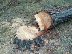 На Луганщині посадовцю лісгоспу повідомлено про підозру за завдану державі шкоду у понад 5,3 мільйони гривень