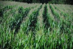 Производители кукурузы теперь могут страховать ее на льготных условиях