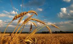 Підприємствами агропромислового комплексу Луганської області на 100 % закінчено роботи по збиранню врожаю ранніх зернових та зернобобових культур у 2015 році