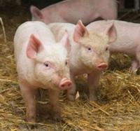 Обережно: Африканська чума свиней!